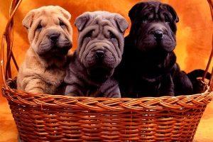 Породистые щенки
